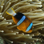 Yellowtail clownfish swims down