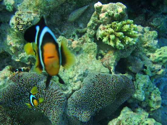 Yellowtail clownfish watching at you wallpaper