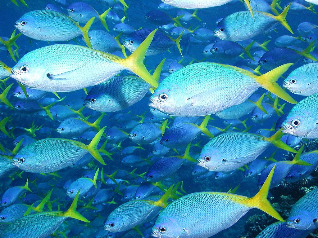 Yellowtail fishes photo and wallpaper cute yellowtail for Blue fish florida