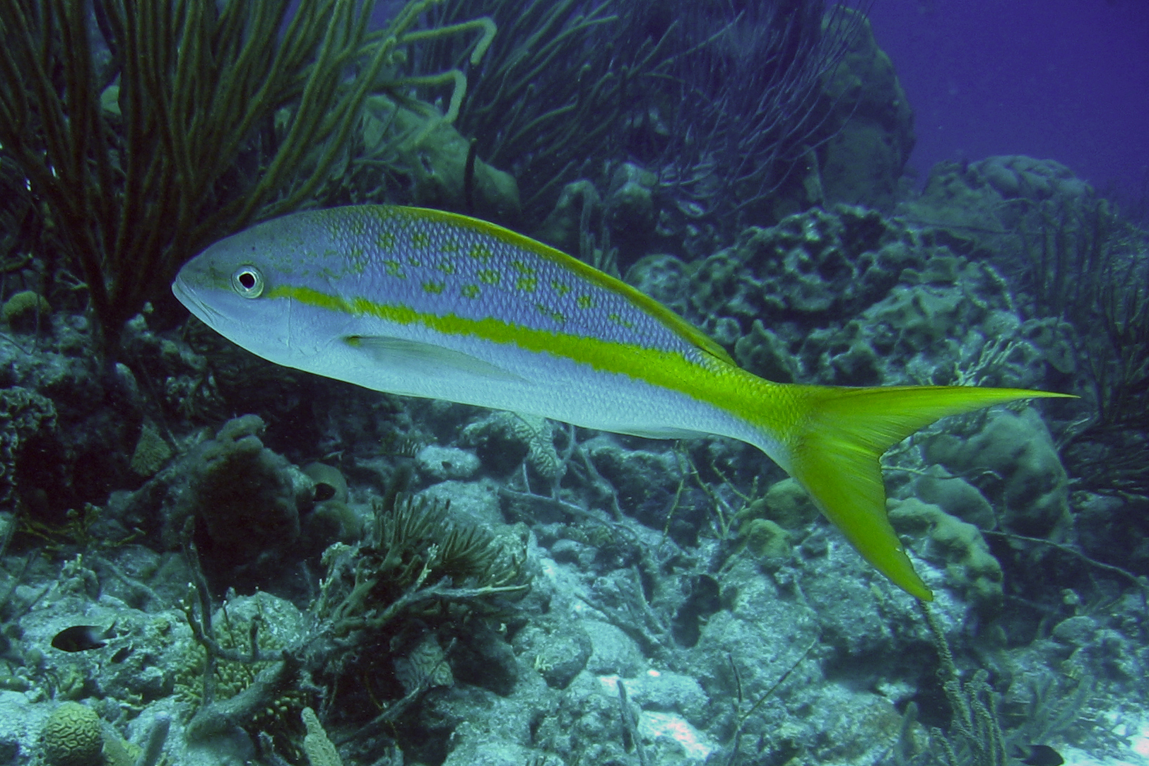 Yellowtail snapper at a depth wallpaper
