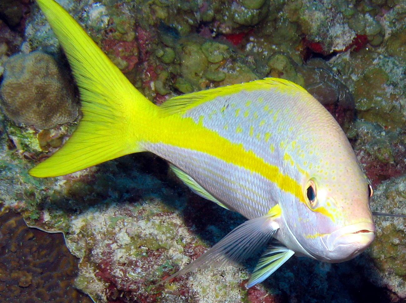 Yellowtail snapper face wallpaper