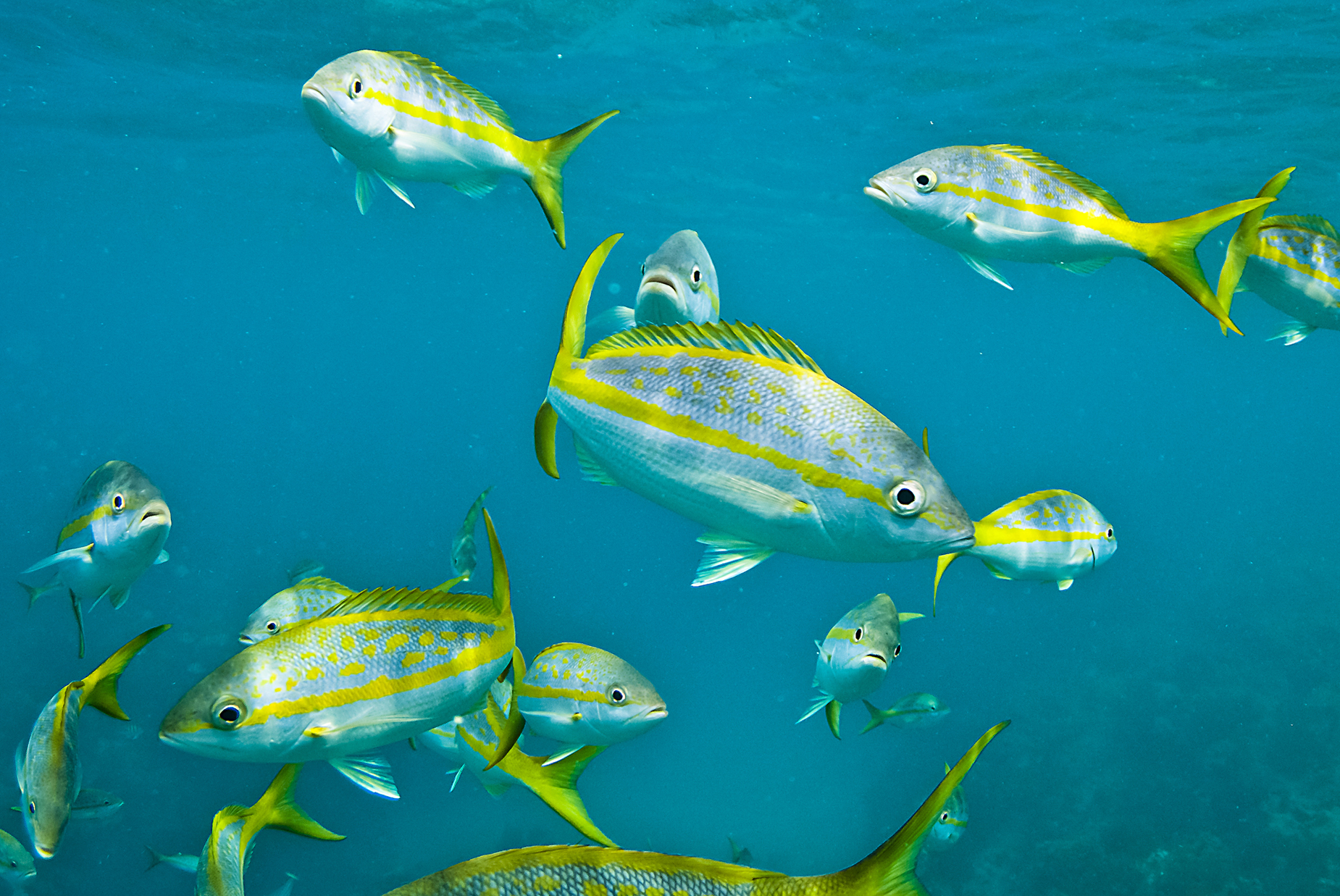 Yellowtail snapper fishes wallpaper