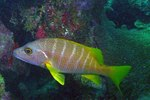 Yellowtail snapper side view