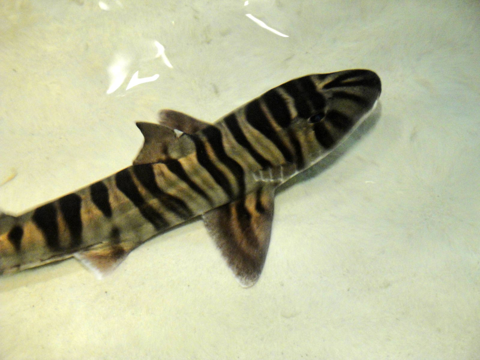 Zebra bullhead shark wallpaper