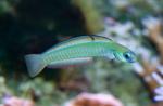 Zebra dartfish