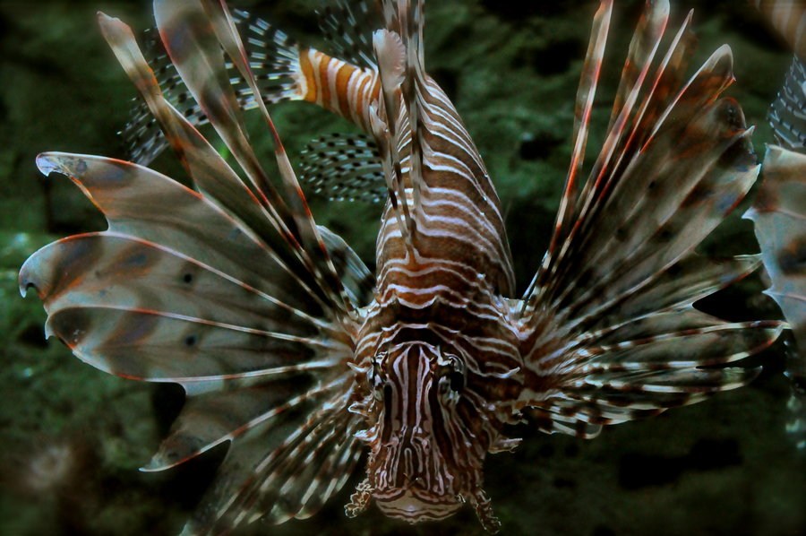 Zebra lionfish face wallpaper