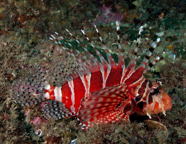 Zebra lionfish wallpaper