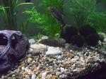 Боция Стриата в аквариуме