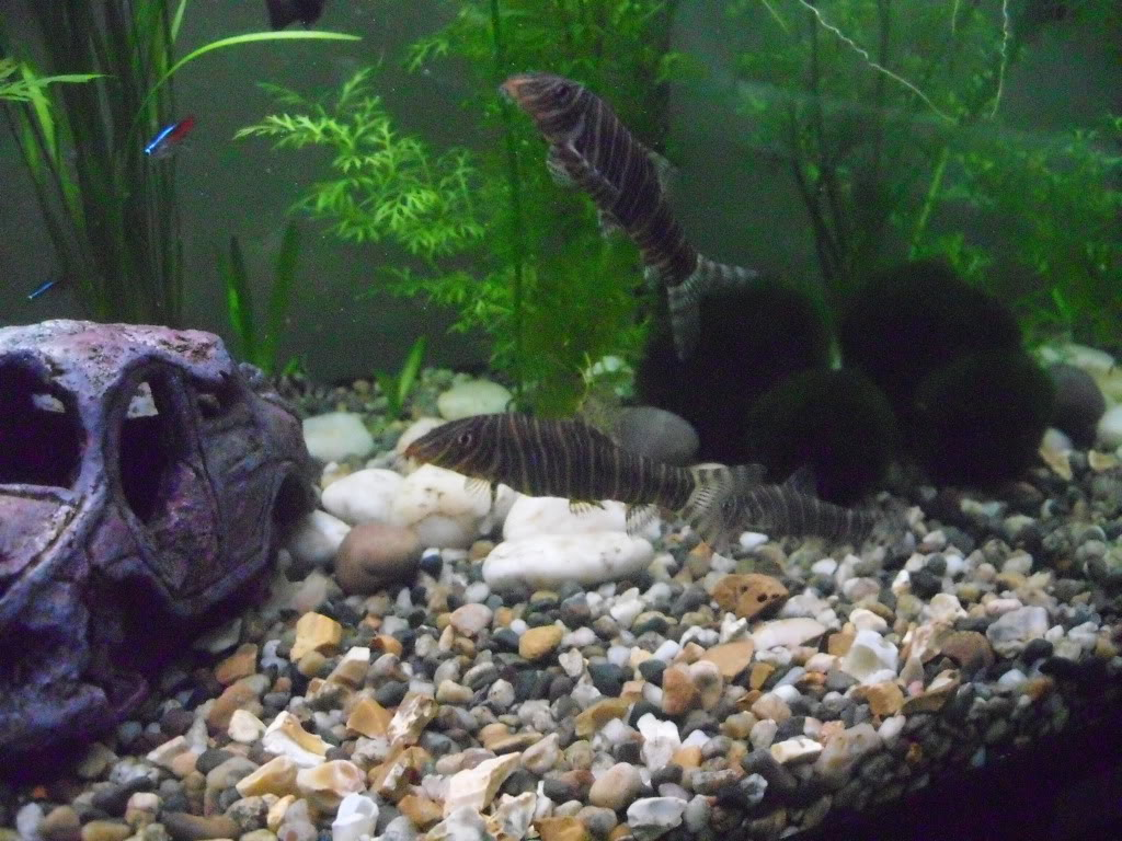 Zebra loach in the aquarium wallpaper