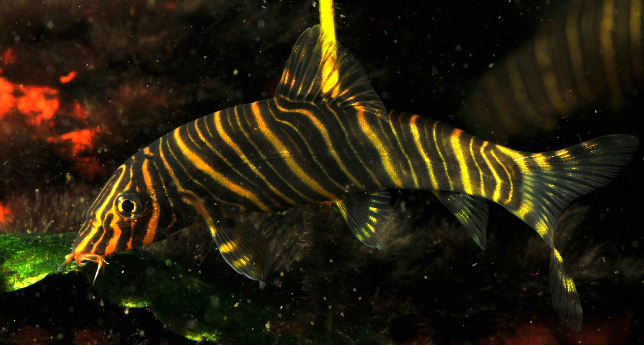Zebra loach wallpaper