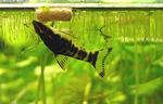 Zebra oto in the aquarium