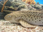 Zebra shark on the bottom