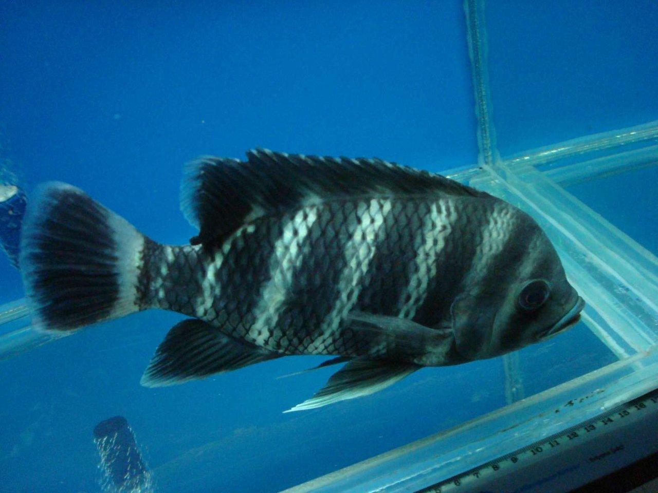 Полосатая тилапия в аквариуме фото
