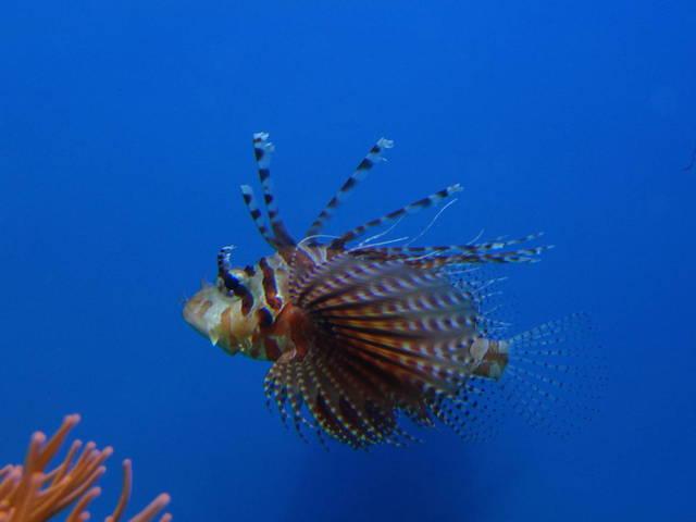 Zebra turkeyfish in the ocean wallpaper