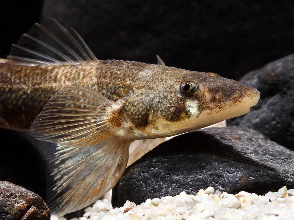 Zingel fish face wallpaper