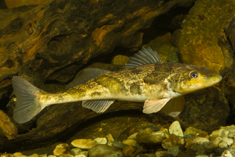 Zingel fish wallpaper