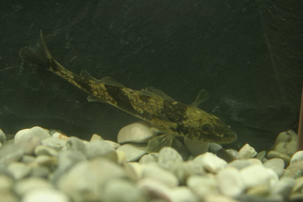 Рыба породы Зингел плавает фото